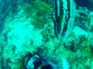 Swimming with tame Nassau Groupers at Fowl Cay National Park in the Abacos